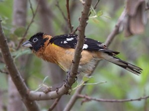 black-headed_grosbeak.620x465